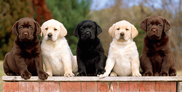 Which Lab Is Best – Yellow, Chocolate, or Black?