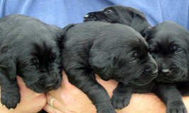 black-lab-puppies-bundles-of-love-634