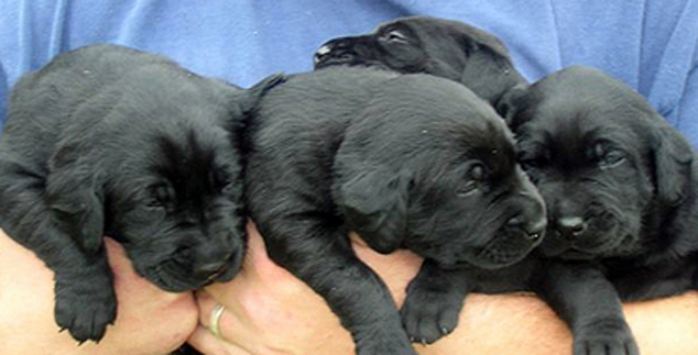 Black Labrador Puppies – Bundles of Love