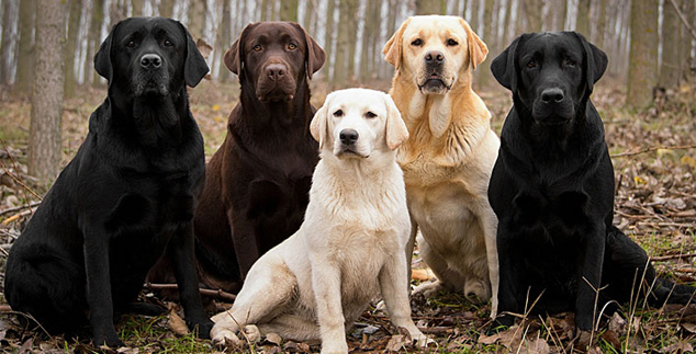 How Big Do Labrador Retrievers Get?