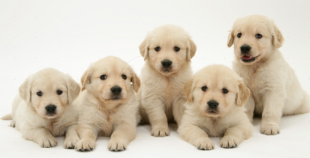 77 Yellow Labrador Retriever Names