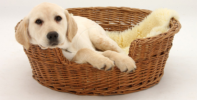 Labrador Puppy Nurseries