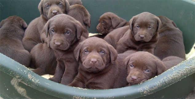 Tips on How to Train Chocolate Labradors to a Litter Box