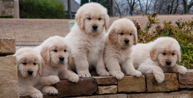 Breeding Labradors for Fun and Profit