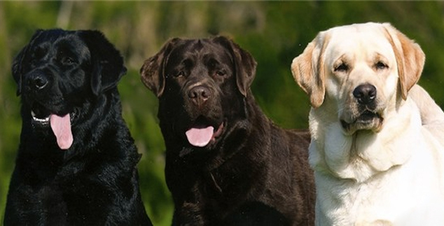 English Labrador Retriever Breeders