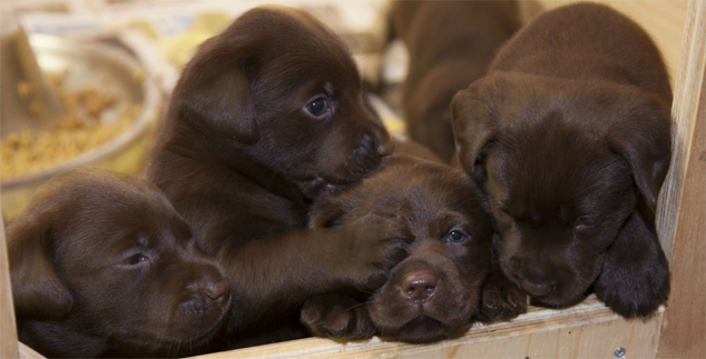 Perfect Names for a Chocolate Lab Male
