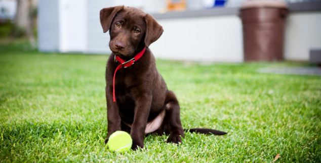 Labrador Retriever Exercise Program
