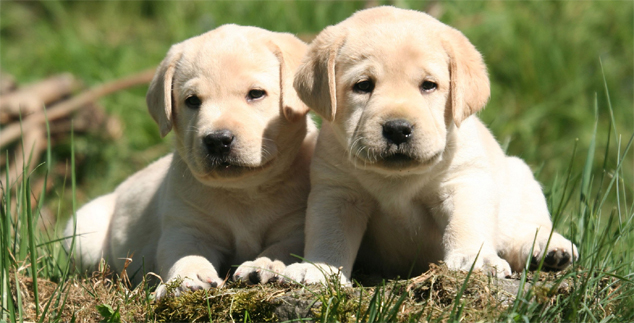 Labrador Retriever Puppies in Louisiana