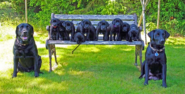 Labrador Retriever – Black Color