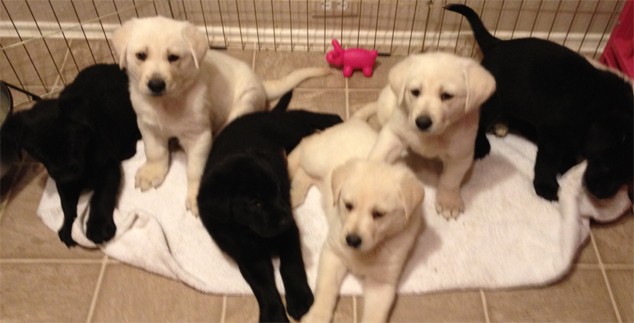 Lab Puppies in Dallas and Fort Worth