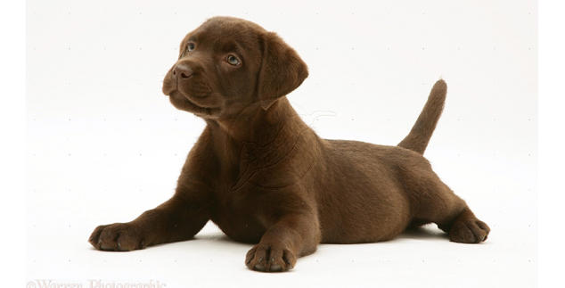 Chocolate Labrador Puppies – Printable Pictures