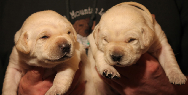 Lab Puppies – When Do They Open Their Eyes?