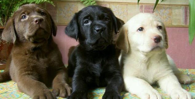 What Is a Labrador Retriever?